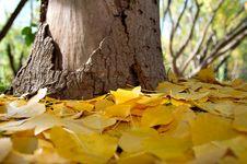 Free Fallen Yellow Leaves Stock Photos - 2393303