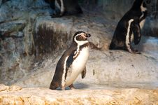 Free Humboldt Penguin Stock Photo - 2396280