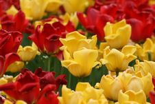Free Tulips Royalty Free Stock Photography - 2396407