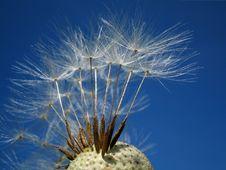 Free Dandelion Stock Images - 2396474