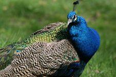 Free Peacock Stock Photo - 2396480