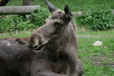 Free Elk Stock Images - 2396494