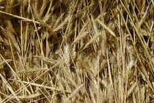 Free Plenty Of Wheat Spikes Royalty Free Stock Photo - 2396575