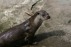 Free Otter Stock Photography - 2396762
