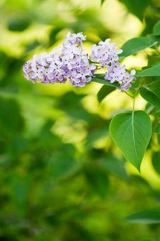 Free Purple Flower Stock Image - 2397181