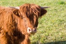 Free Young Cow Royalty Free Stock Photo - 2397875