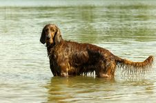 Free English Red Setter Royalty Free Stock Photos - 2398458