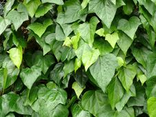 Free Wall Of Leaves Stock Photos - 2398473
