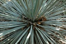 Free Center Of Yucca Plant Stock Photos - 2398493