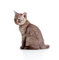 Free Little Kitten Pure Breed Striped British Stock Image - 23901761