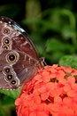 Free Blue Morpho Butterfly,aka,Morpho Peleides Royalty Free Stock Images - 23904719