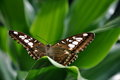 Free Brown Clipper Butterfly Stock Images - 23904734