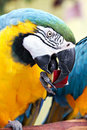 Free Macaw Eating Apple Royalty Free Stock Photos - 23907798