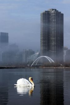 Free City Swan Stock Image - 23900791