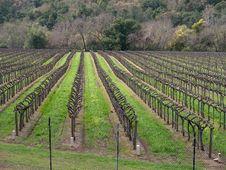 Free Vineyard At Springtime Stock Image - 23901961