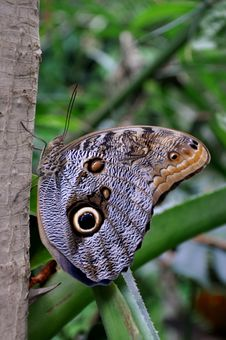 Free Cream Owl Butterfly,aka,Caligo Memnon Stock Images - 23904784