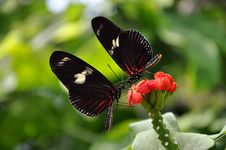Free A Pair Of Doris Longwing Butterflies Royalty Free Stock Images - 23904809