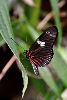 Free Doris Longwing Butterfly,aka,Heliconius Doris Stock Image - 23904821