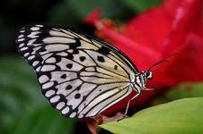 Free Tree Nymph Butterfly,aka,Idea Leuconoe Stock Photo - 23904830