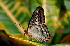 Free Brown Clipper Butterfly Royalty Free Stock Photos - 23904888