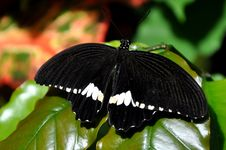 Free Male Common Mormon,aka,Papilio Polytes Stock Photos - 23904963