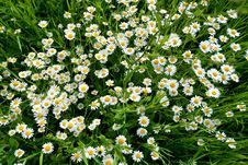 Free Daisies On A Meadow Royalty Free Stock Image - 23905936