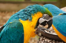 Free Blue Ad Yellow Macaw Cracking A Peanut Royalty Free Stock Images - 23907009