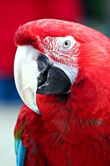 Free Red Macaw Royalty Free Stock Images - 23907839