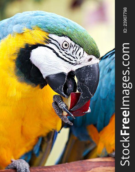 Macaw Eating Apple
