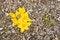 Free Yellow Flower - Crocus &x28;Yellow Crocus&x29; Stock Images - 23902874