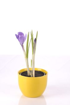 Purple Crocus On White Stock Photos