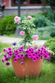 Free Rose Royalty Free Stock Photo - 23912365