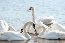 Free White Swans Stock Images - 23914834