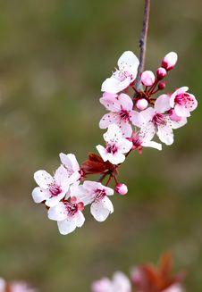 Free Prunus Flowers Royalty Free Stock Photos - 23918088