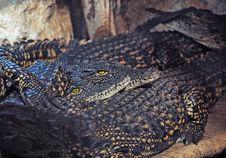 Free Alligators Royalty Free Stock Photos - 23918738