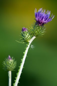Free Welted Thistle Stock Photo - 23919010
