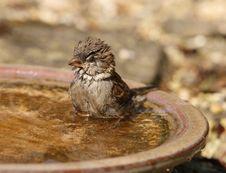 Free House Sparrow Stock Photos - 23920173