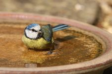 Free Blue Tit Stock Images - 23920194