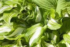 Free Hosta Plant Bright Leaves Stock Photography - 23921062