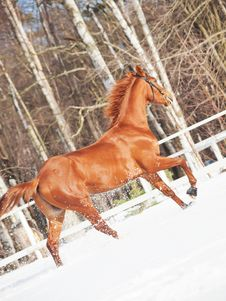 Free Galloping Sorrel Horse In Snow Paddock Royalty Free Stock Photo - 23921105