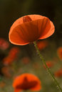 Free Poppy - Papaver Rhoeas Stock Photos - 23930443