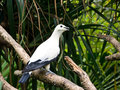 Free White Pigeon Stock Images - 23933024
