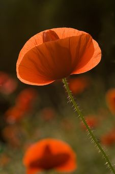 Poppy - Papaver Rhoeas Stock Photos