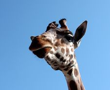Free Giraffe Royalty Free Stock Photo - 23931305