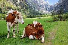 Free Cows On The Alpine Mountain Pasture Stock Photography - 23932942