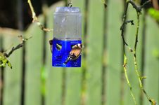 Free Pair Of Goldfinch Royalty Free Stock Photos - 23933748