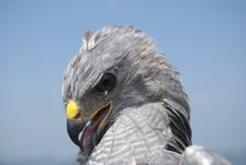 Free Grey Hawk Portrait Stock Photos - 23936653
