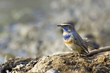 Free Bluethroat Sits On The Perch Stock Images - 23939184