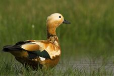 Free Ruddy Shelduck Male In Its Natural Habitat Stock Photography - 23939292