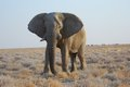 Free Old Elephant Bull Royalty Free Stock Images - 23948449
